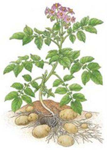 Criadero la pureza la amapolas veneno para nuestros perros for Como plantar patatas en casa